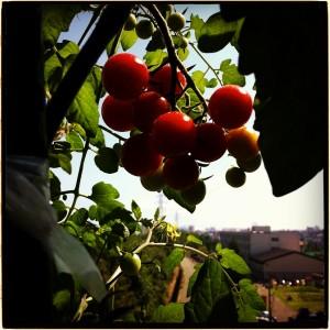 自家栽培のミニトマト。